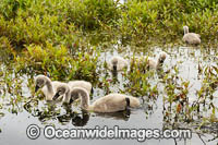 Black Swan with cygnets Photo - Gary Bell