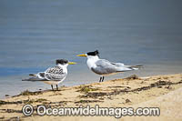 Crested Terns Bermagui Photo - Gary Bell