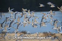 Crested Terns Lake Wallaga Photo - Gary Bell