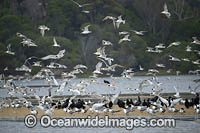 Silver Gulls Crested Terns Photo - Gary Bell