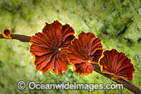 Rainforest Fungi Coffs Photo - Gary Bell