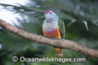 Rose-crowned Fruit Dove Photo - Gary Bell