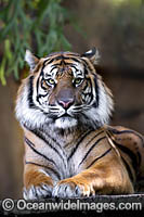 Sumatran Tiger Photo - Gary Bell