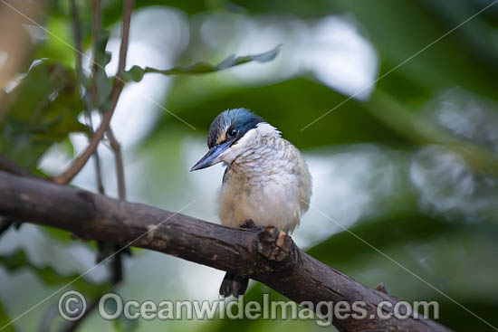 Sacred Kingfisher (Todiramphus sanctus). Found in mangroves, woodlands, forests, and river valleys in Australia, New Zealand, and other parts of the western Pacific. Photo - Gary Bell