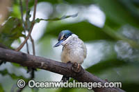 Sacred Kingfisher Photo - Gary Bell