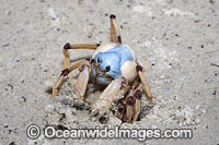Soldier Crab Photo - Gary Bell