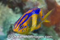 Girdled Scalyfin Photo - Gary Bell