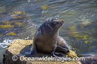 Australian Fur Seal Narooma Photo - Gary Bell