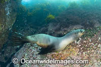 New Zealand Fur Seal Photo - Gary Bell