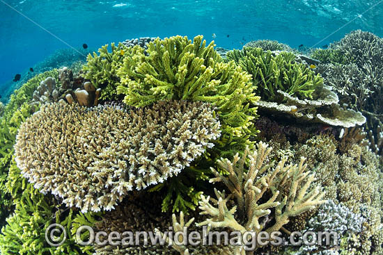 Underwater reefscape consisting of a variety of Acropora Corals. Kimbe Bay, Papua New Guinea. Photo - Gary Bell