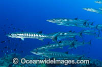Schooling Chevron Barracuda Photo - Gary Bell