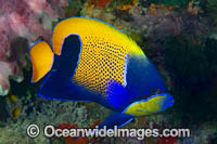 Majestic Angelfish Photo - Gary Bell