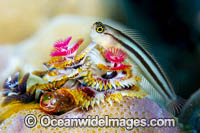 Bath's Comb-tooth Blenny Photo - Gary Bell