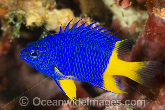 Azure Damselfish (Chrysiptera parasema), juvenile. Also known as Yellowtail Damselfish, Yellowtail Blue Damsel and Goldtail Demoiselle. Found throughout the Indo-Pacific, including the Great Barrier Reef, Australia. Photo - Gary Bell