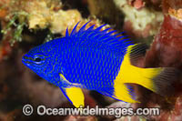 Azure Damselfish Photo - Gary Bell