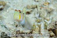Randall's Shrimp Goby Photo - Gary Bell