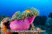 Pink Anemonefish Photo - Gary Bell