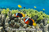 Red and Black Anemonefish Photo - Gary Bell