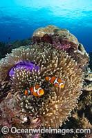 Eastern Clownfish Photo - Gary Bell