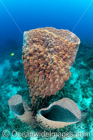 Sea Sponge (Xestospongia sp.). Photo taken in Kimbe Bay, Papua New Guinea. Photo - Gary Bell