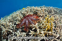 Crown-of-thorns Starfish Photo - Gary Bell