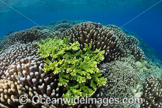 Coral Reef Scene consisting of Acropora Corals. Kimbe Bay, Papua New Guinea. Photo - Gary Bell