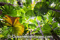 Fan Palm forest Queensland Photo - Gary Bell