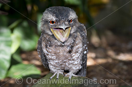 Papuan Frogmouth (Podargus papuensis). Found on edges of rainforests and monsoon forests throughout Cape York Peninsula, north Queensland, Australia. Also Papua New Guinea Photo - Gary Bell