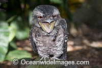 Papuan Frogmouth Photo - Gary Bell