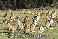 Agile Wallaby Photo - Gary Bell