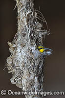 Olive-backed Sunbird in nest Photo - Gary Bell