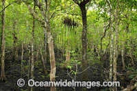 Mangroves Cape Tribulation Photo - Gary Bell