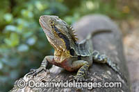 Water Dragon Australia Photo - Gary Bell