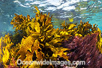 Kelp Montague Island Photo - Gary Bell