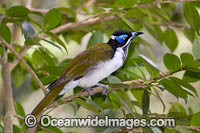 Blue-faced Honeyeater Photo - Gary Bell