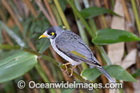 Noisy Miner Coffs Harbour Photo - Gary Bell