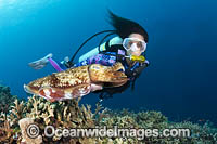 Broadclub Cuttlefish and Diver Photo - Gary Bell