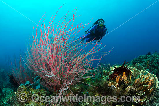 Diver exploring a tropical reef covered in Whip Coral (Ellisella sp.). Kimbe Bay, Papua New Guinea. Photo - Gary Bell