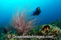 Whip Coral and Diver Photo - Gary Bell