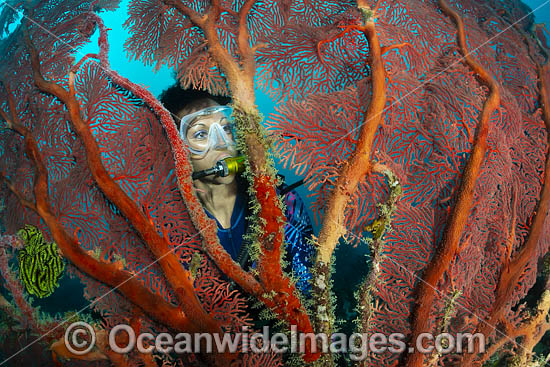 Diver observing a large Gorgonia Coral. Kimbe Bay, Papua New Guinea. Photo - Gary Bell
