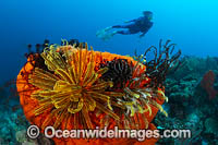 Diver and Sea sponge Photo - Gary Bell