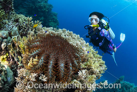 Diver observing a Crown-of-thorns Starfish (Acanthaster planci), feeding on Coral. This sea star has sharp venomous spines. Great Barrier Reef, Queensland, Australia Photo - Gary Bell