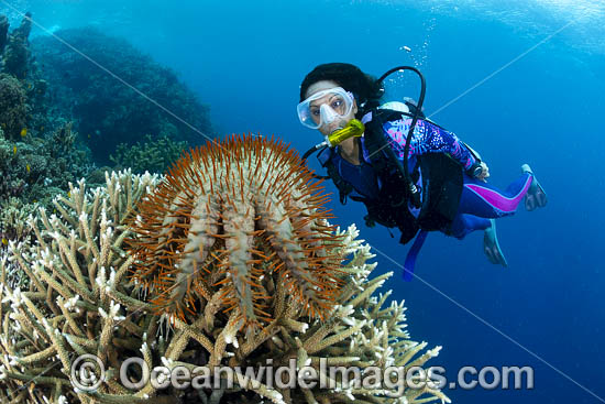 Diver observing a Crown-of-thorns Starfish (Acanthaster planci), feeding on Acropora Coral. Kimbe Bay, Papua New Guinea. Photo - Gary Bell