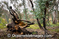 Forest Regrowth Australia Photo - Gary Bell