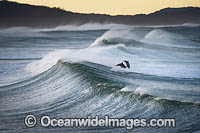 Dolphins in surf Photo - Gary Bell