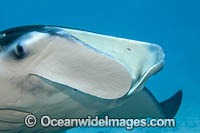 Giant Oceanic Manta Ray Photo - David Fleetham