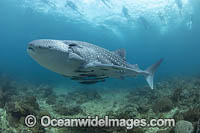 Whale Shark and Snorkelers Photo - David Fleetham