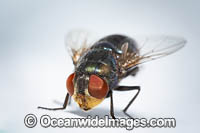 Blow Fly Photo - Gary Bell