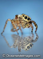Jumping Spider Photo - Gary Bell