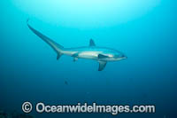 Thresher Shark Alopias pelagicus Photo - David Fleetham